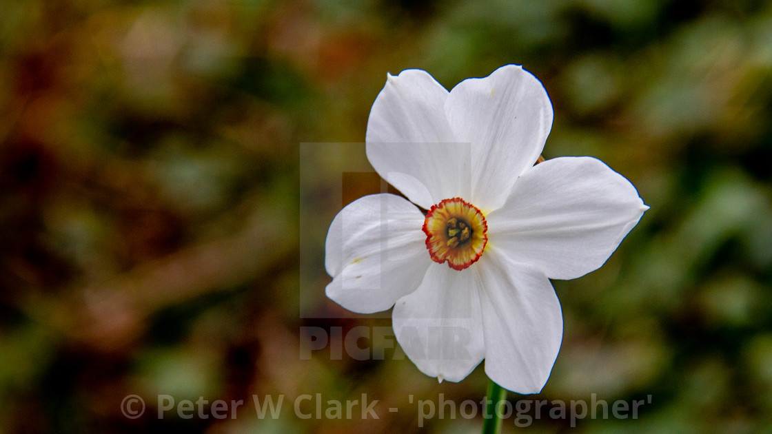 """White Daffodil, open. On green background."" stock image"