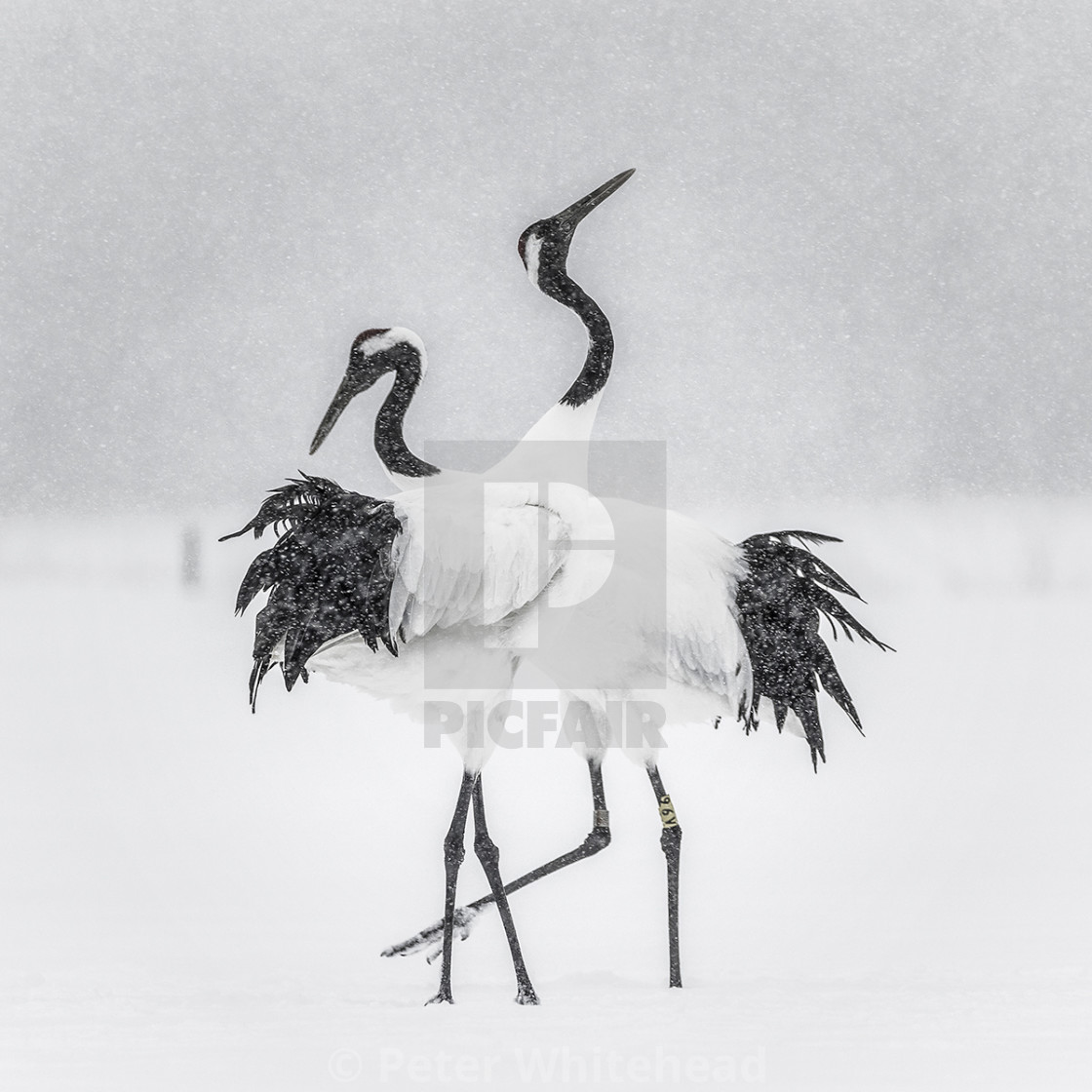 """Dancing cranes"" stock image"