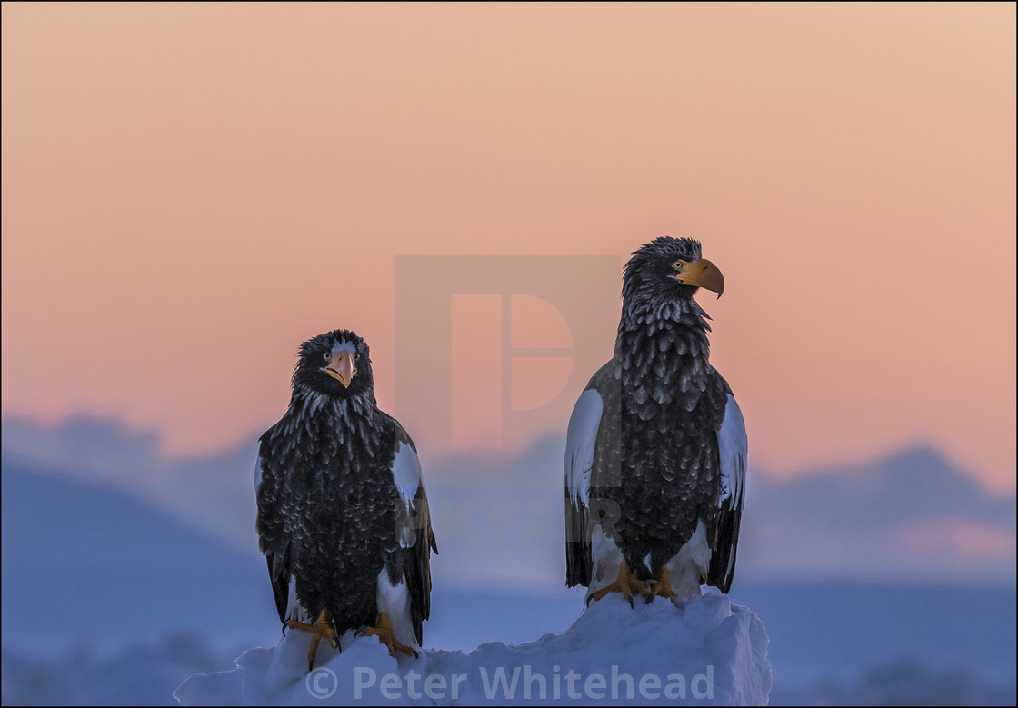"""Steller's Sea Eagle"" stock image"