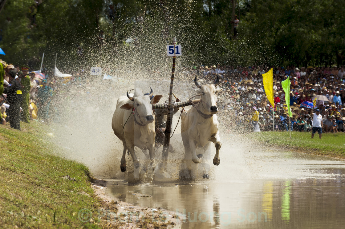 """A jockey drive the bulls and make them run faster in a bull race competition"" stock image"