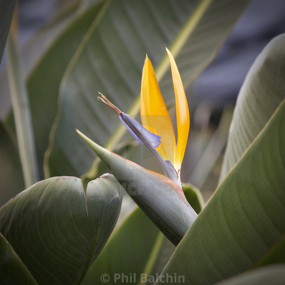 """A Bird of Paradise Flower"" stock image"