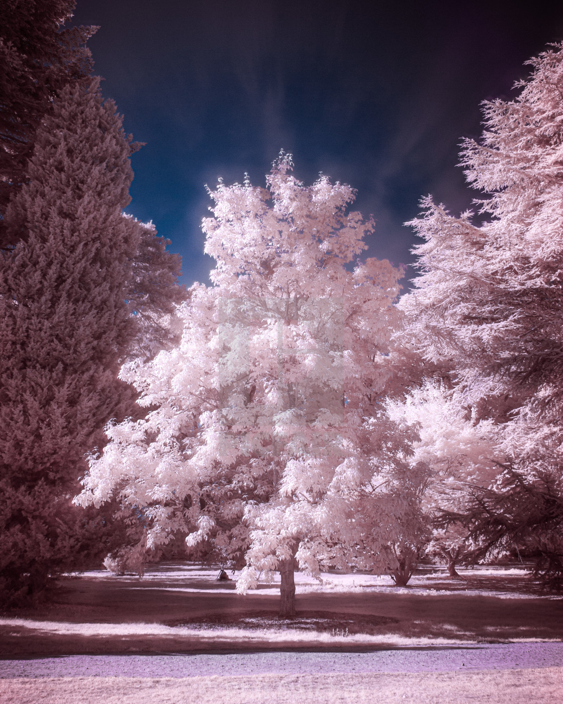 """Infrared Trees"" stock image"