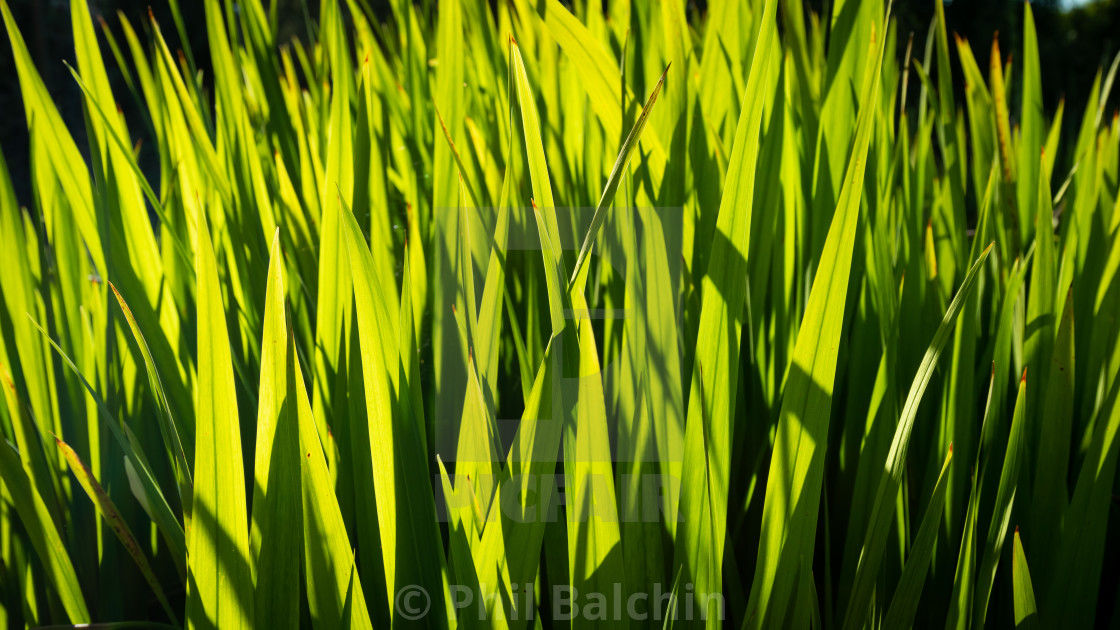 """Long grass"" stock image"
