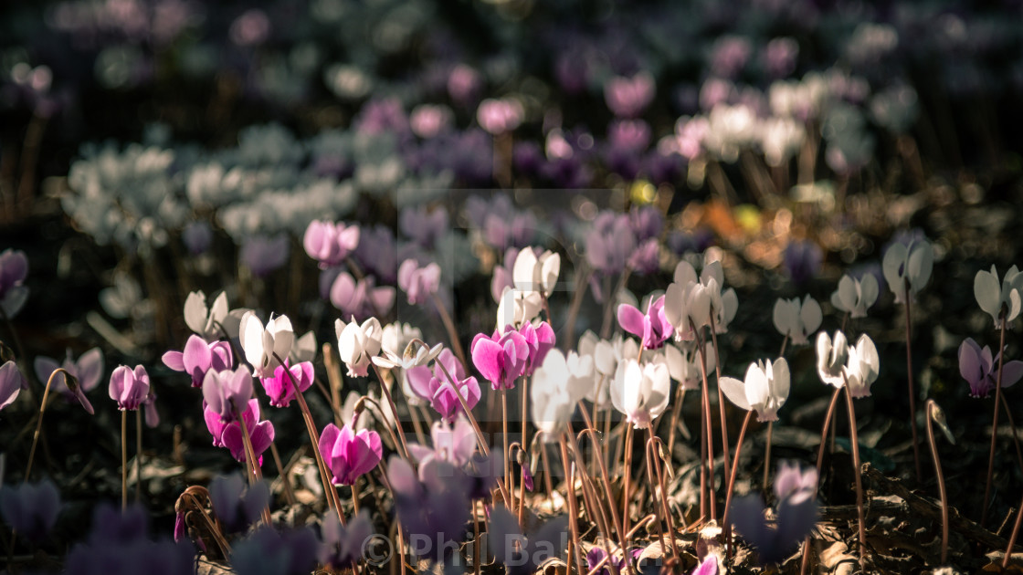 """""""white and pink flowers"""" stock image"""