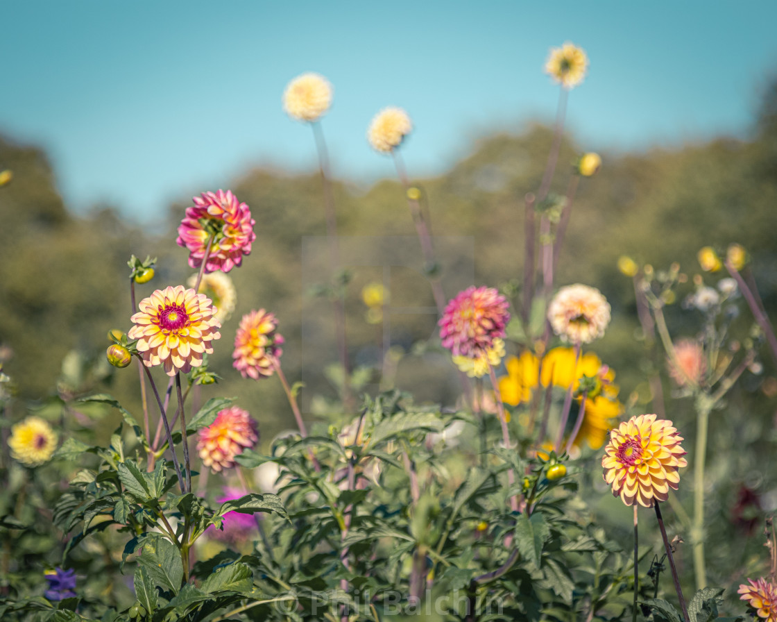 """Meadow Flowers"" stock image"