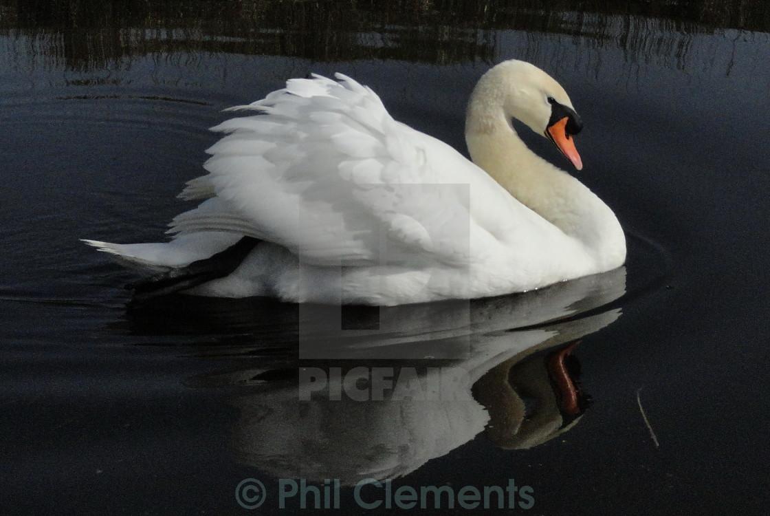 """Swan"" stock image"