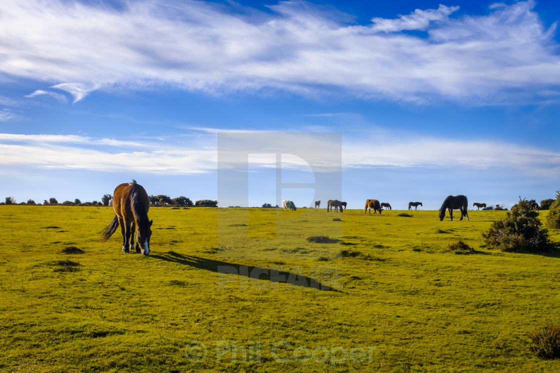 """Grazing New Forest ponies in late afternoon sun"" stock image"
