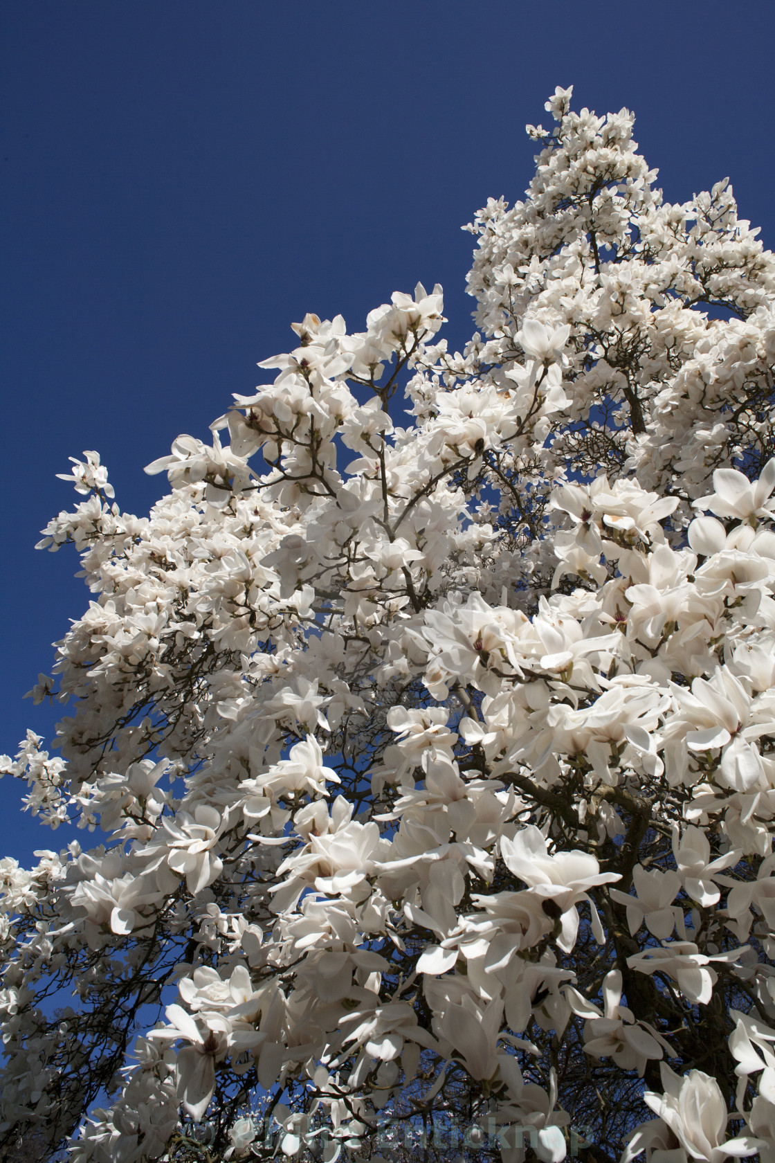 White Magnolia Tree In Blossom License Download Or Print For