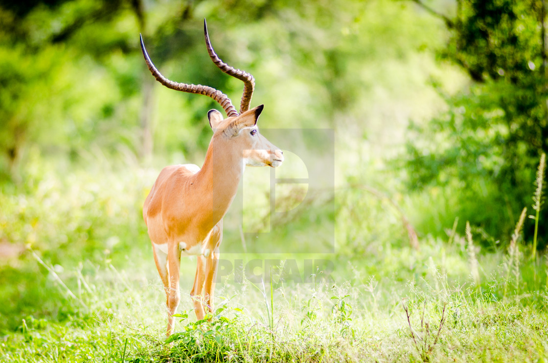 """Impala, Lake Mburo National Park"" stock image"