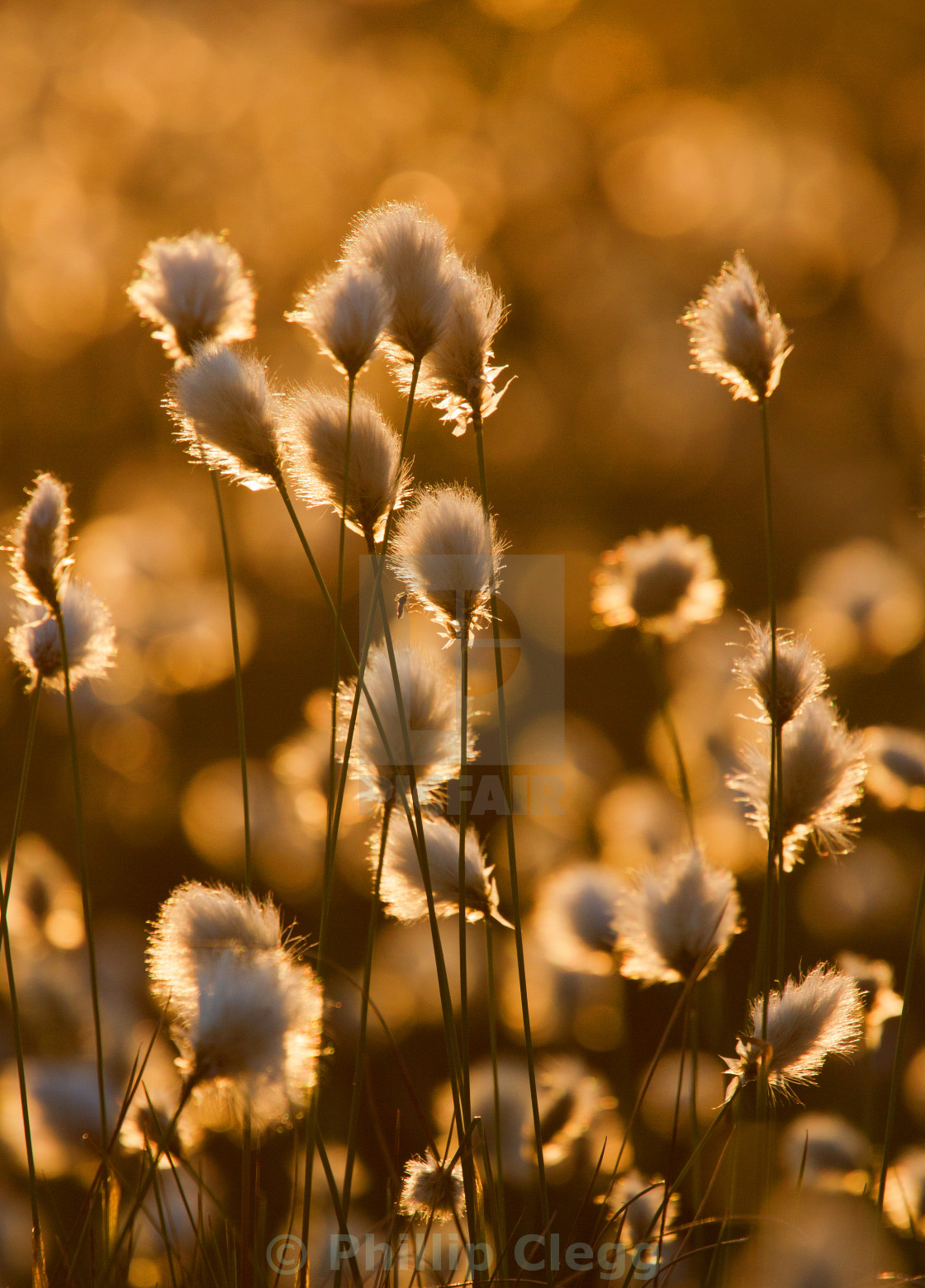 """Backlit Cottongrass"" stock image"