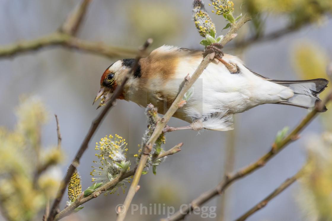 """Goldfinch Feeding"" stock image"