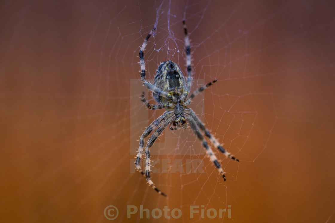 """Common Spider"" stock image"