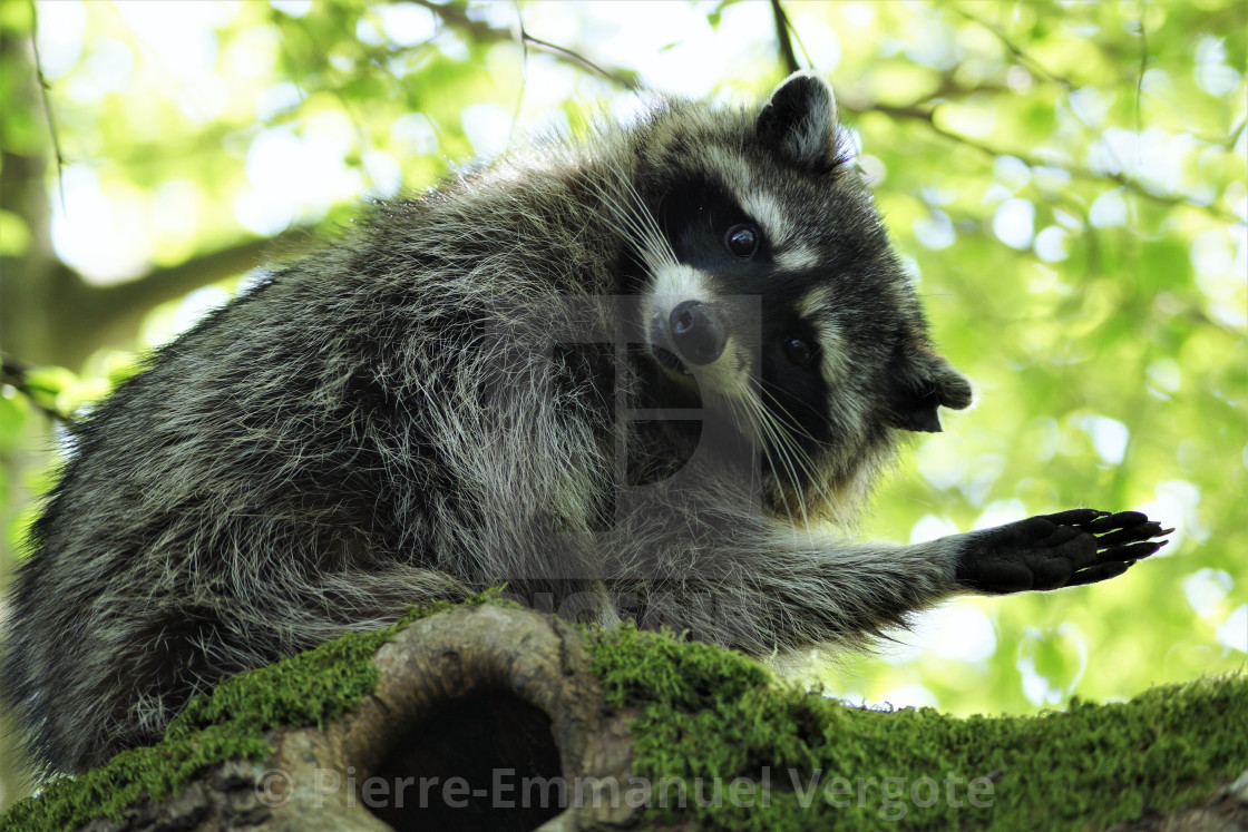 """""High Five"" Racoon - Vancouver, Canada"" stock image"