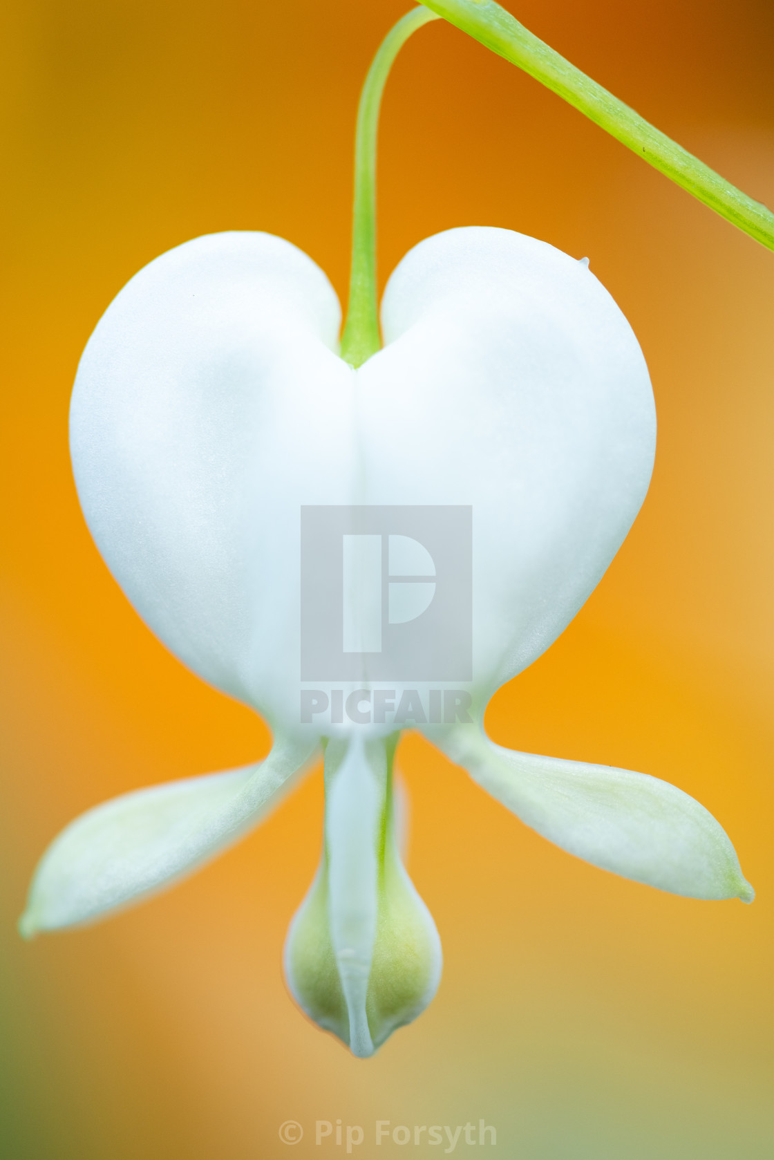 """White bleeding heart"" stock image"