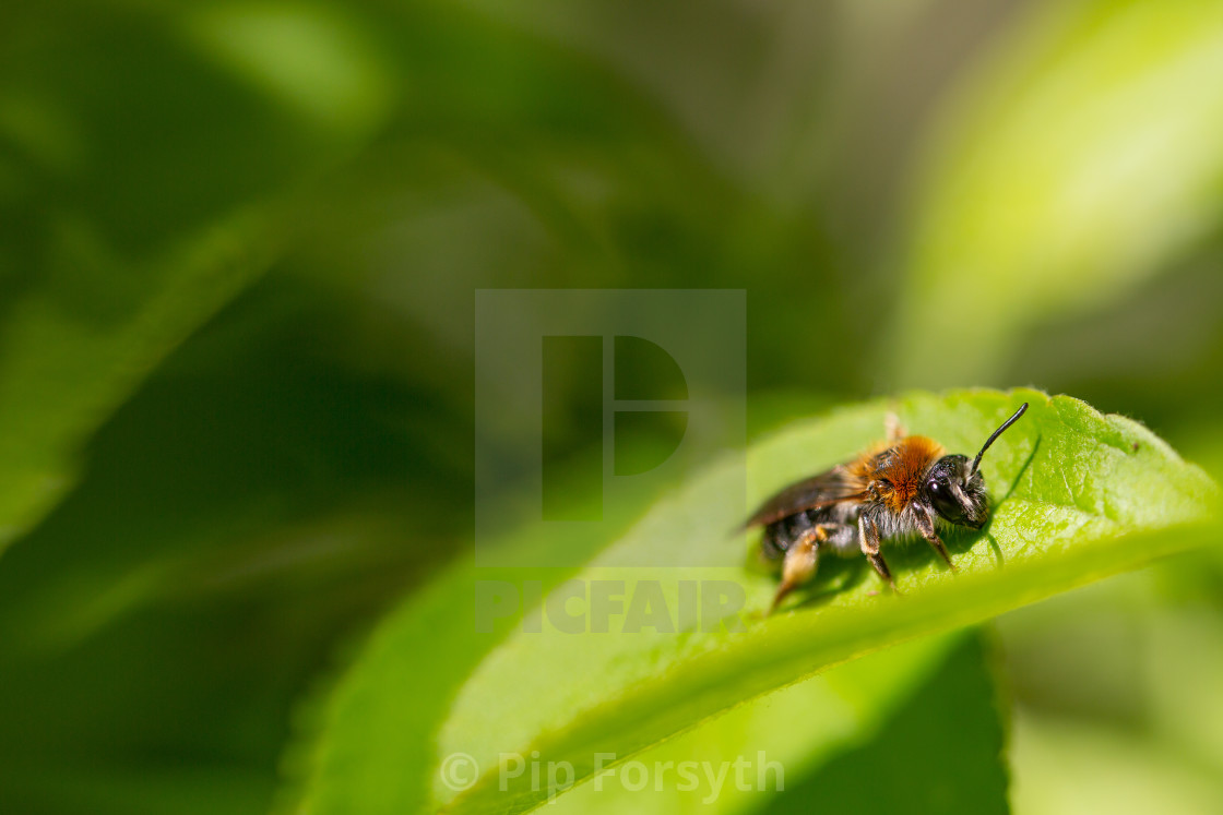 """Red Mason Bee"" stock image"