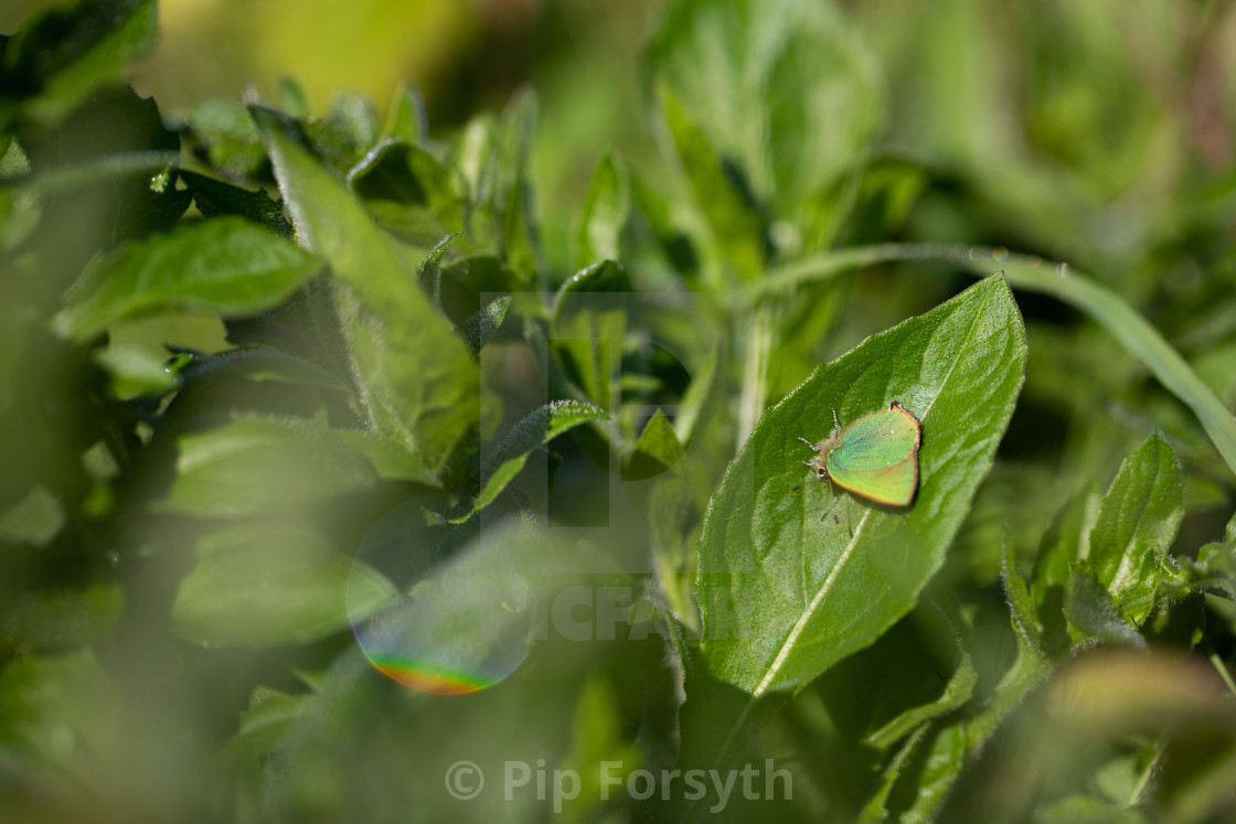 """Green Hairstreak Butterfly"" stock image"