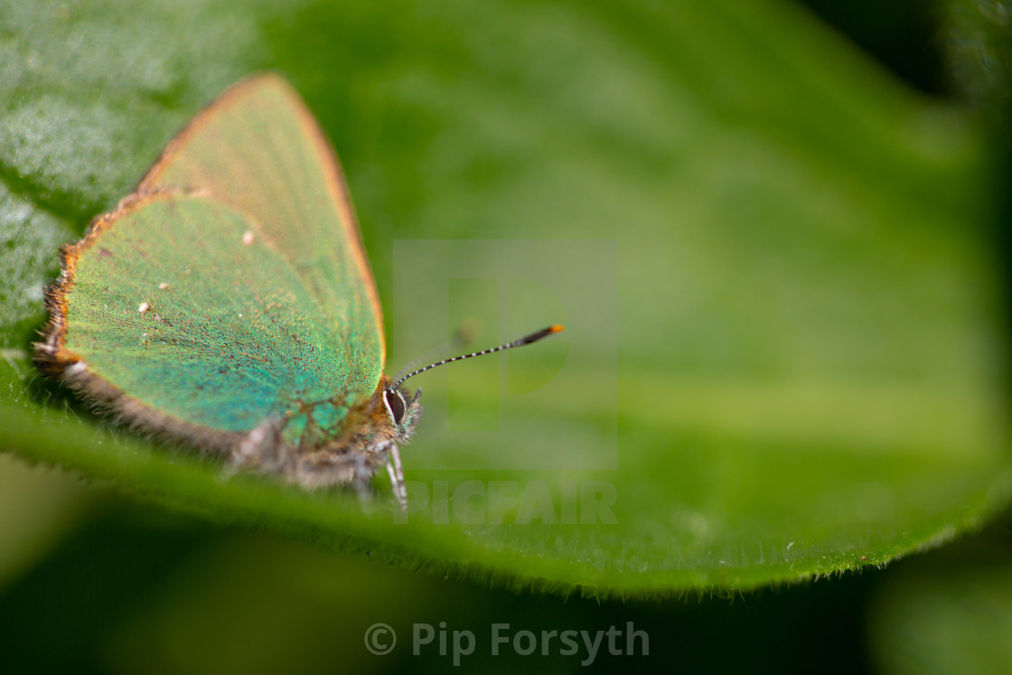 """Green Hairstreak Macro"" stock image"