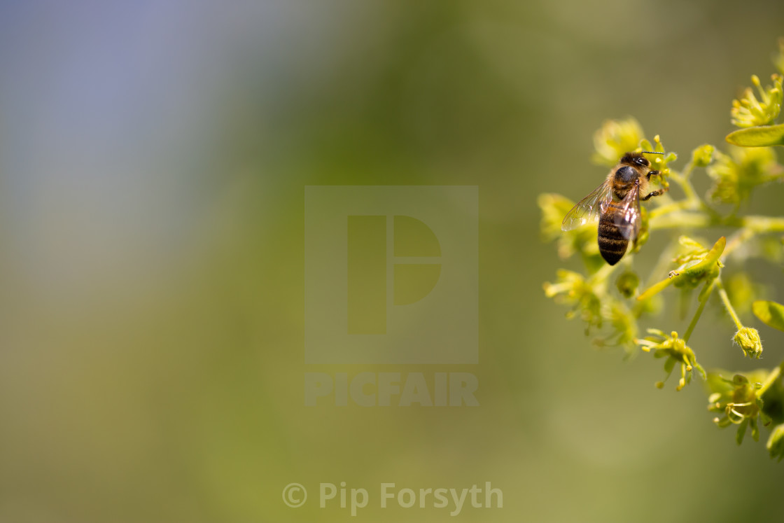 """Honey Bee"" stock image"