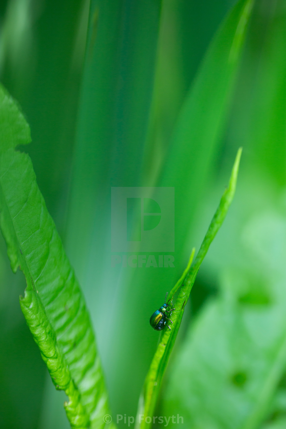 """Green dock beetle"" stock image"
