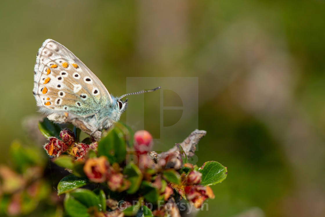 """Adonis blue on bush"" stock image"