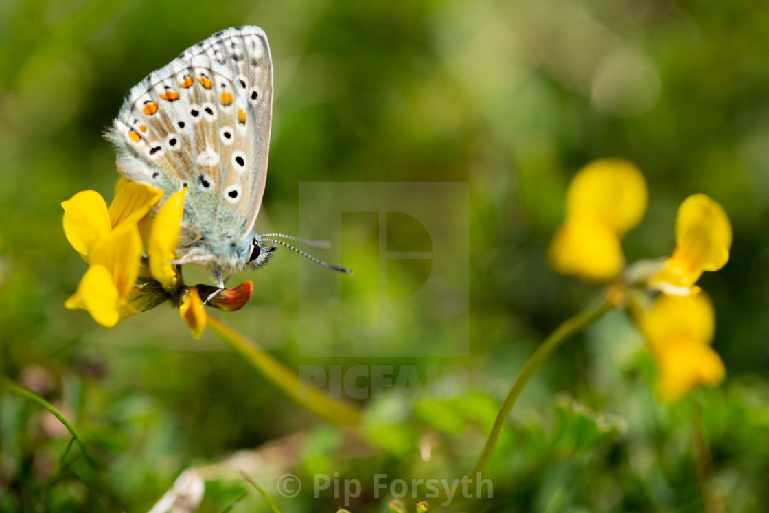 """Adonis blue on horseshoe vetch"" stock image"