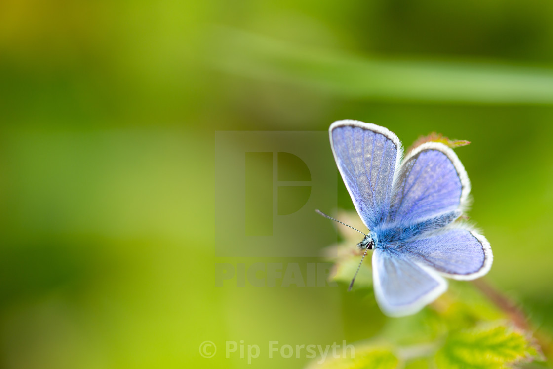 """Macro of common blue butterfly"" stock image"