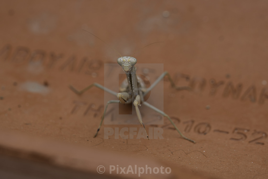 """Mantis On Roof Tile"" stock image"