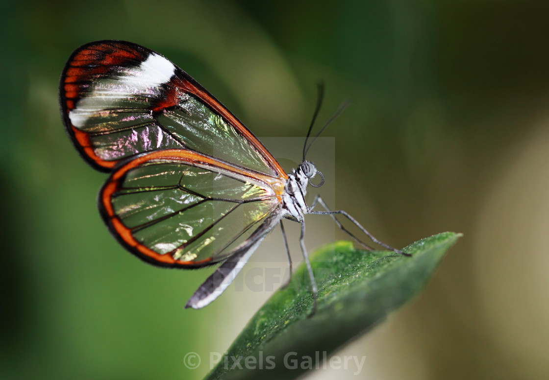 """Glasswinged tropical butterfly"" stock image"