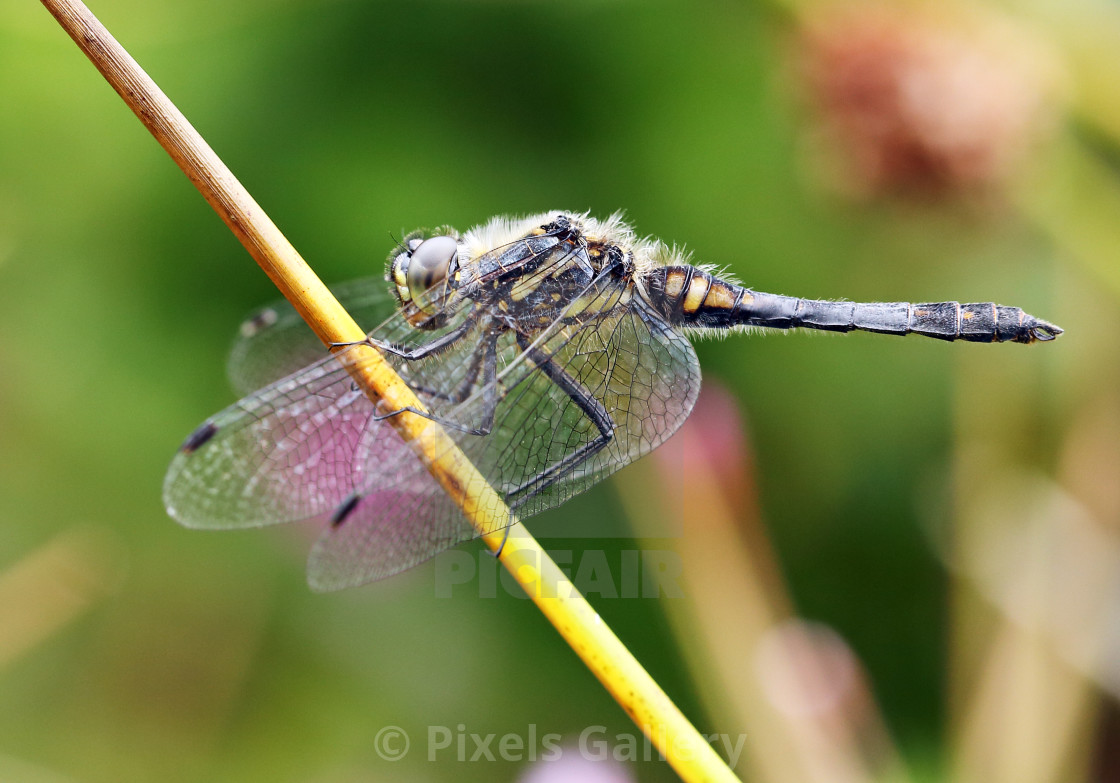 """Black Darter Dragonfly"" stock image"