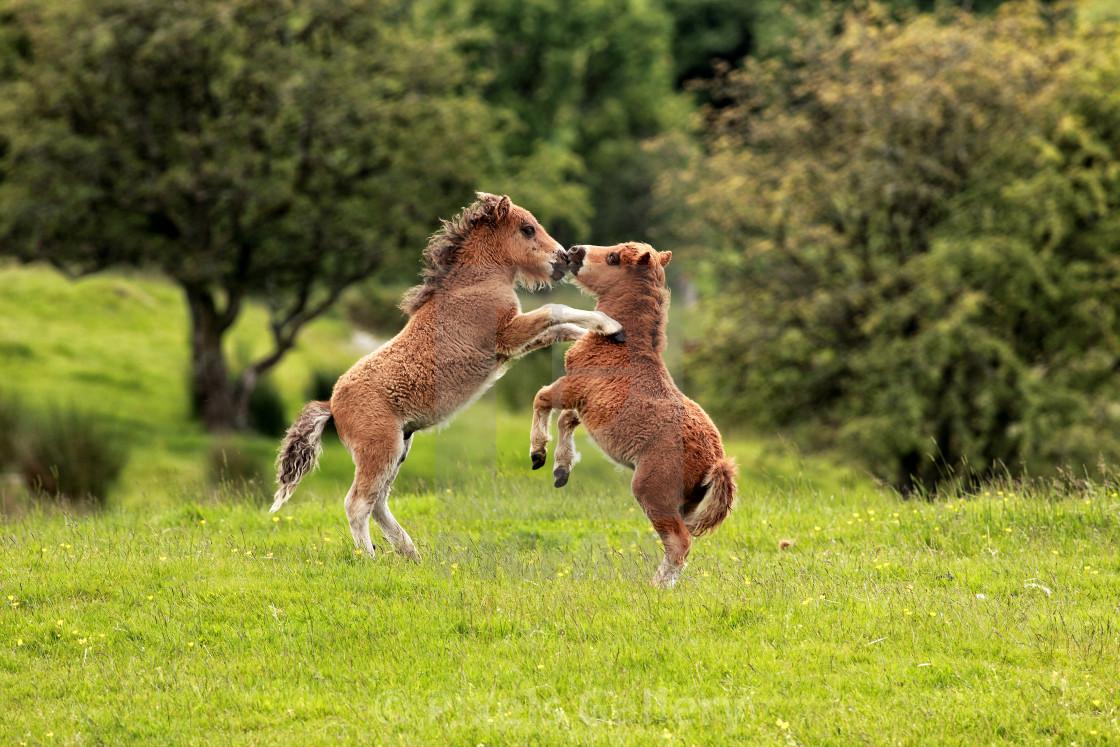 """Shetland Ponies"" stock image"