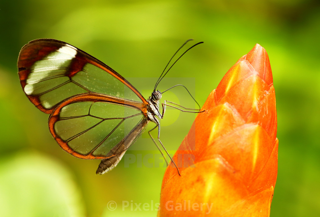 """""""Glassed wing tropical Butterfly"""" stock image"""
