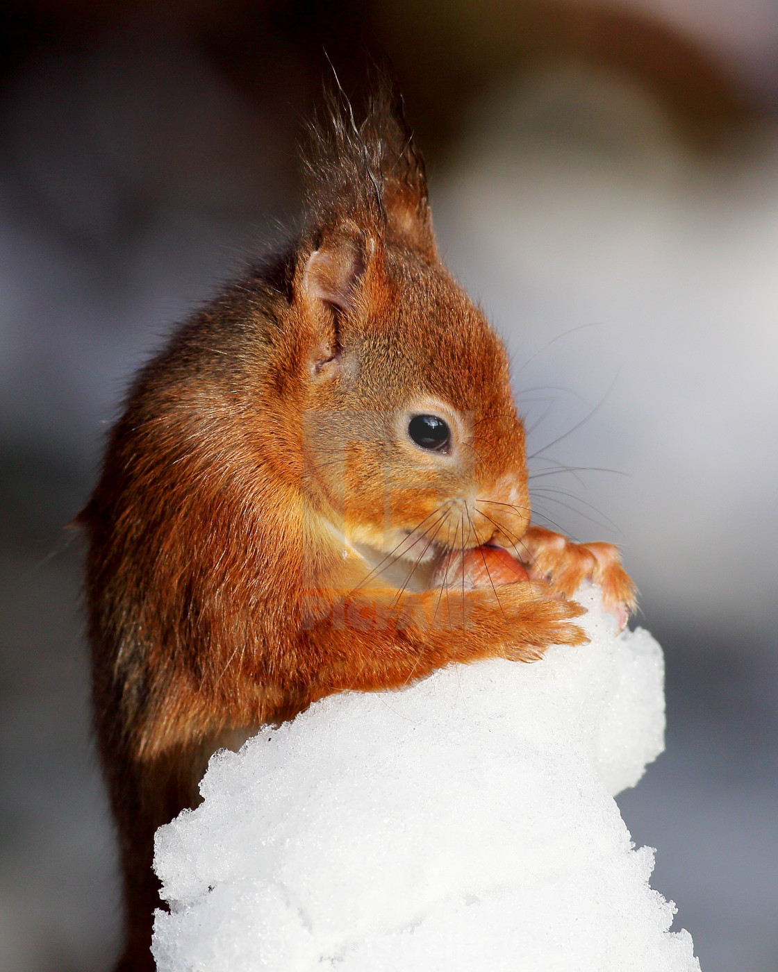 """""""Red Squirrel with nut in snow"""" stock image"""