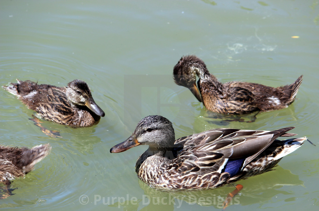 """Mom and ducklings"" stock image"
