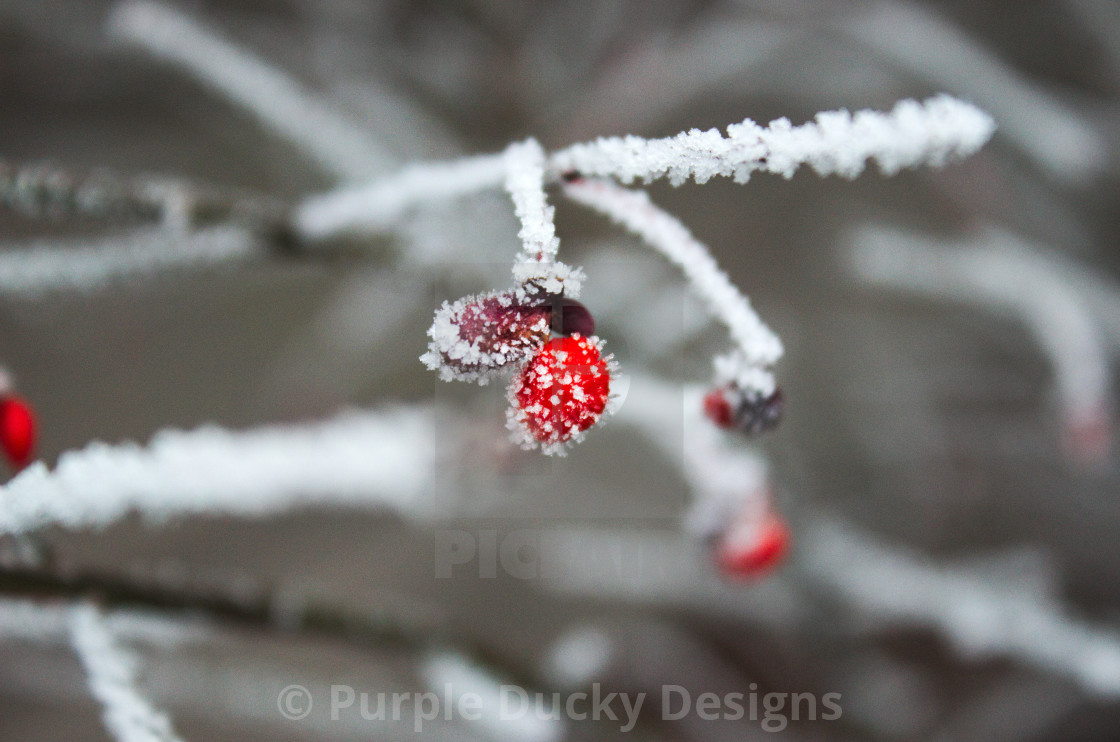 """Frosted berry"" stock image"