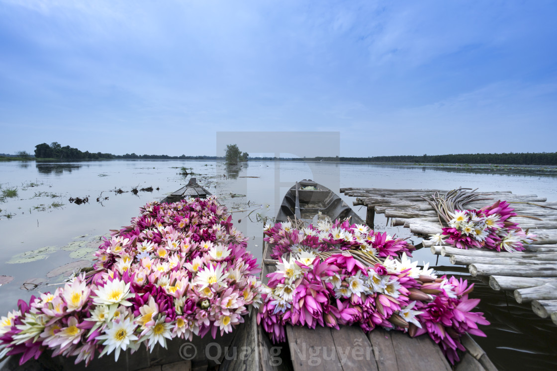 Harvest Water Lily Flowers By Boat License For 2468 On Picfair