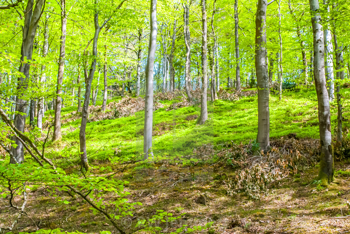 """English Woodland in the Summer"" stock image"