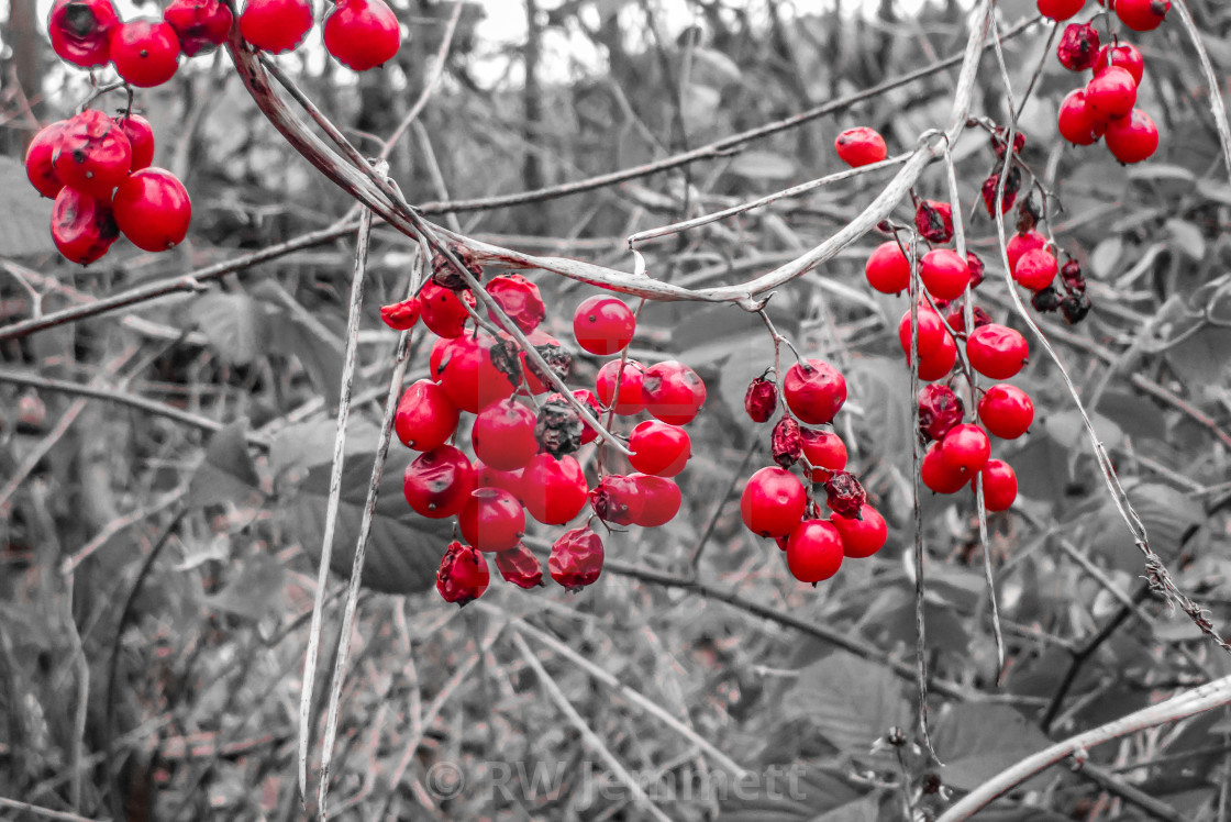 """Red winter berries agains a monochrome background"" stock image"