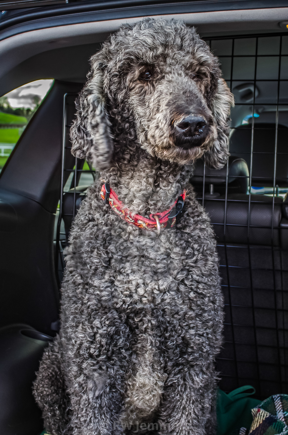 """""""Standard Poodle Looking out of car"""" stock image"""