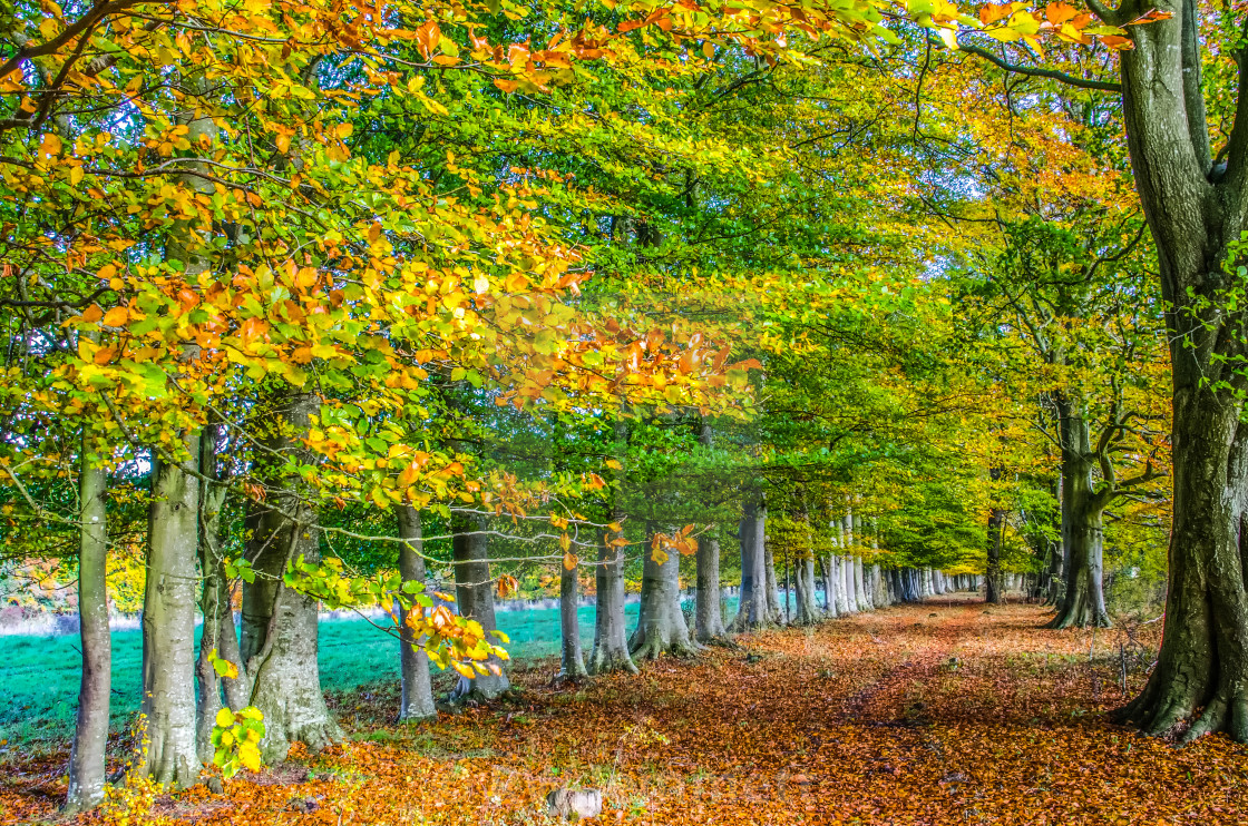"""Row of English beech trees in autumn"" stock image"