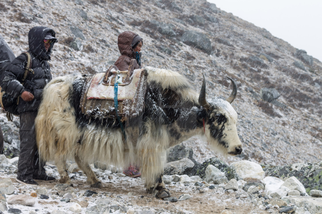 """A Sherpa couple with a yak en-route from the Everest Base Camp"" stock image"