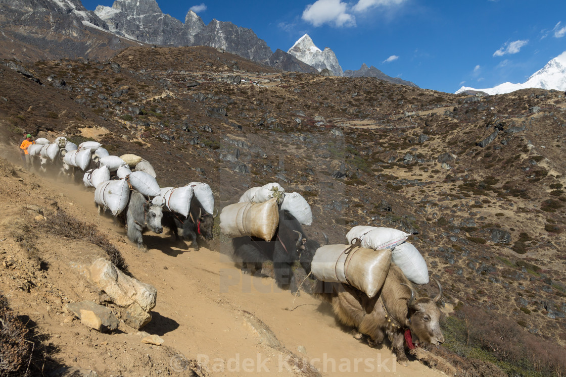 """Yaks packed with supplies on a trail in Khumbu"" stock image"