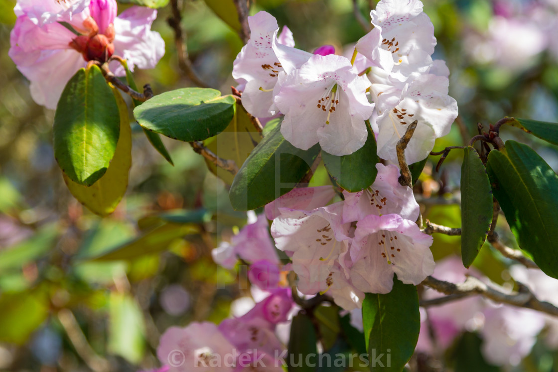 """Pastel pink rhododendron flowers of the Everest Region"" stock image"