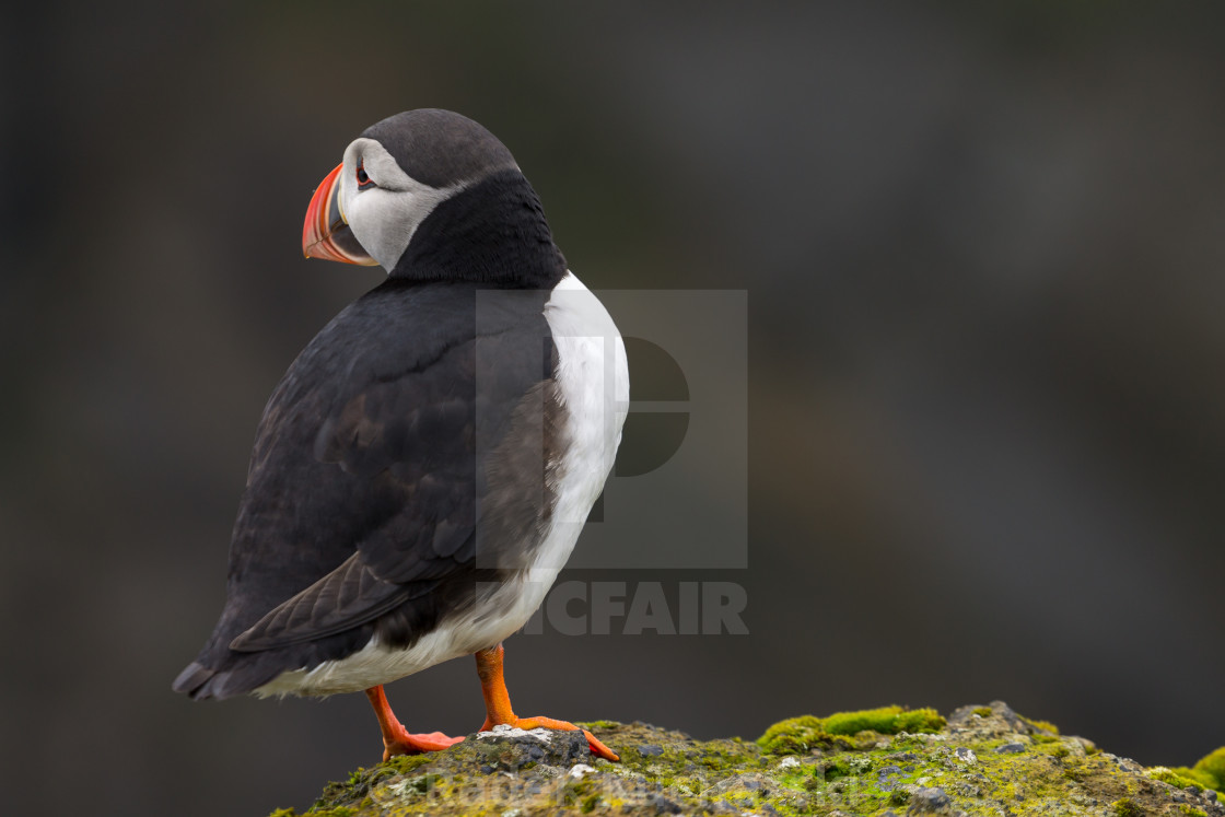 """Atlantic puffin (Fratercula arctica) on the Dyrhólaey Cliff in Iceland"" stock image"