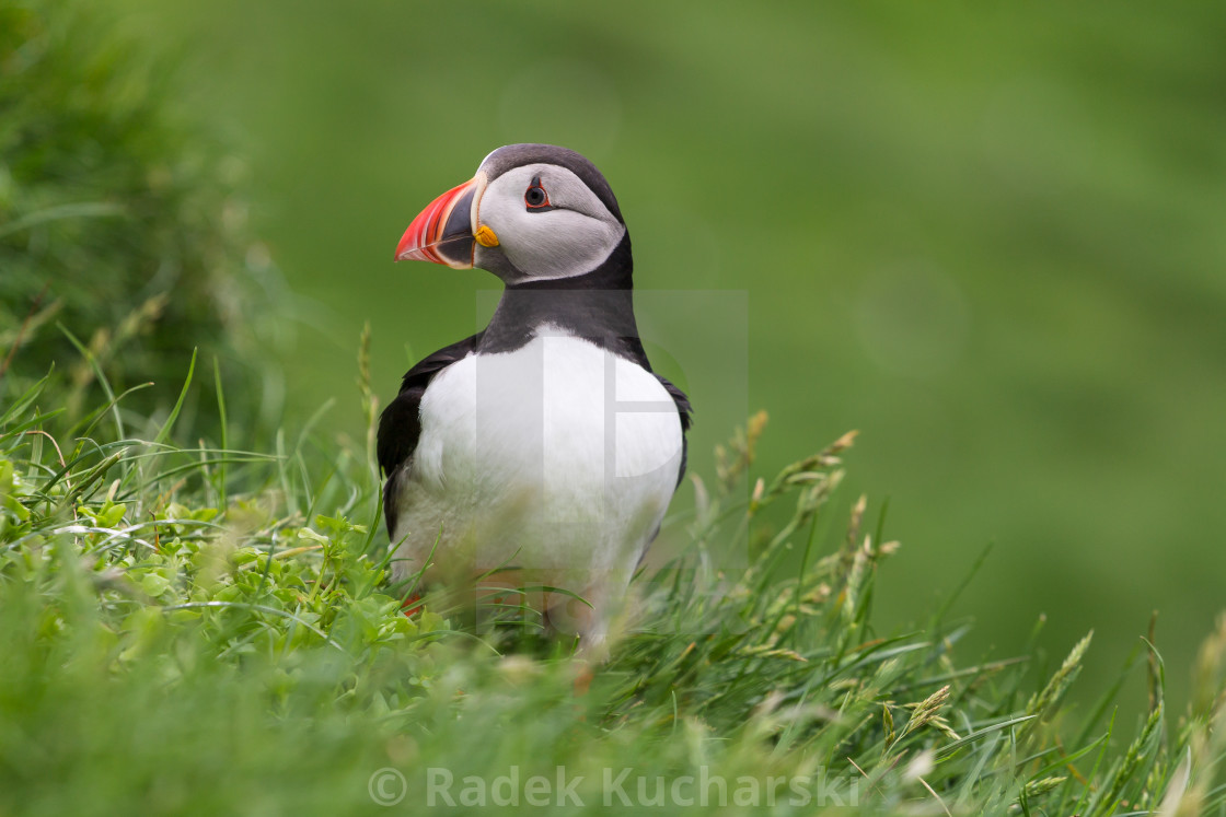 """Puffin of the Mykines island, Faroe Archipelago"" stock image"