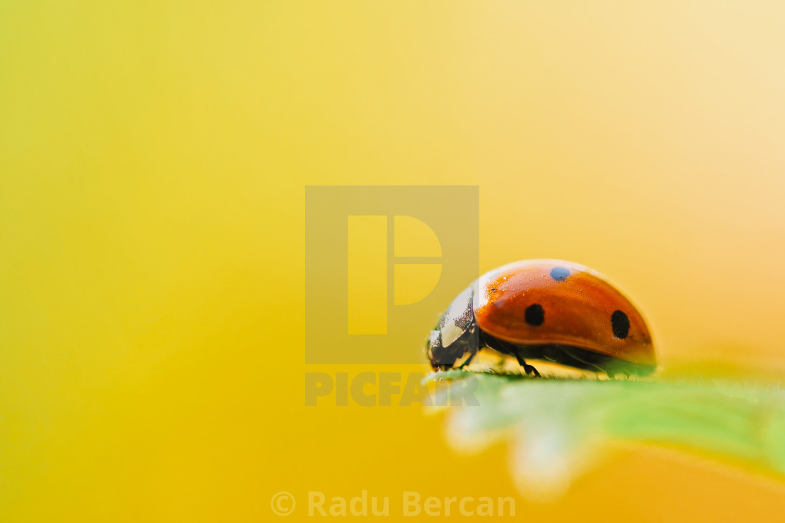 """Red Ladybug Insect On Green Leaf Macro"" stock image"
