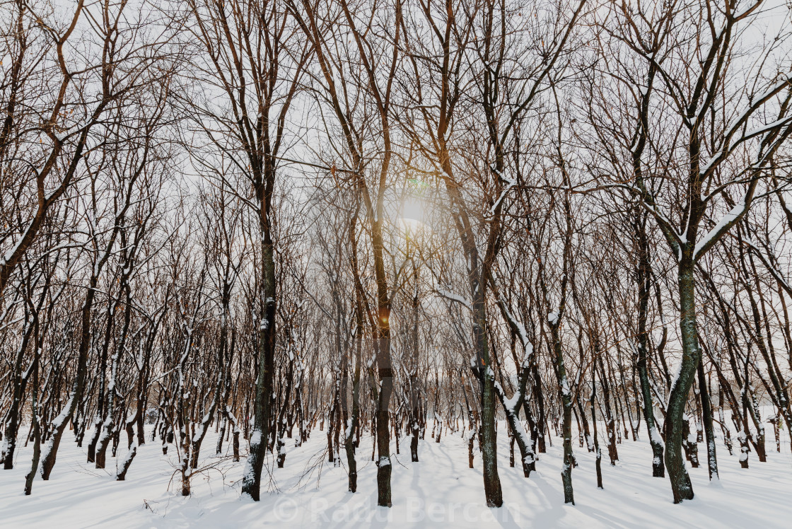 """Forest Trees Covered With White Winter Snow"" stock image"