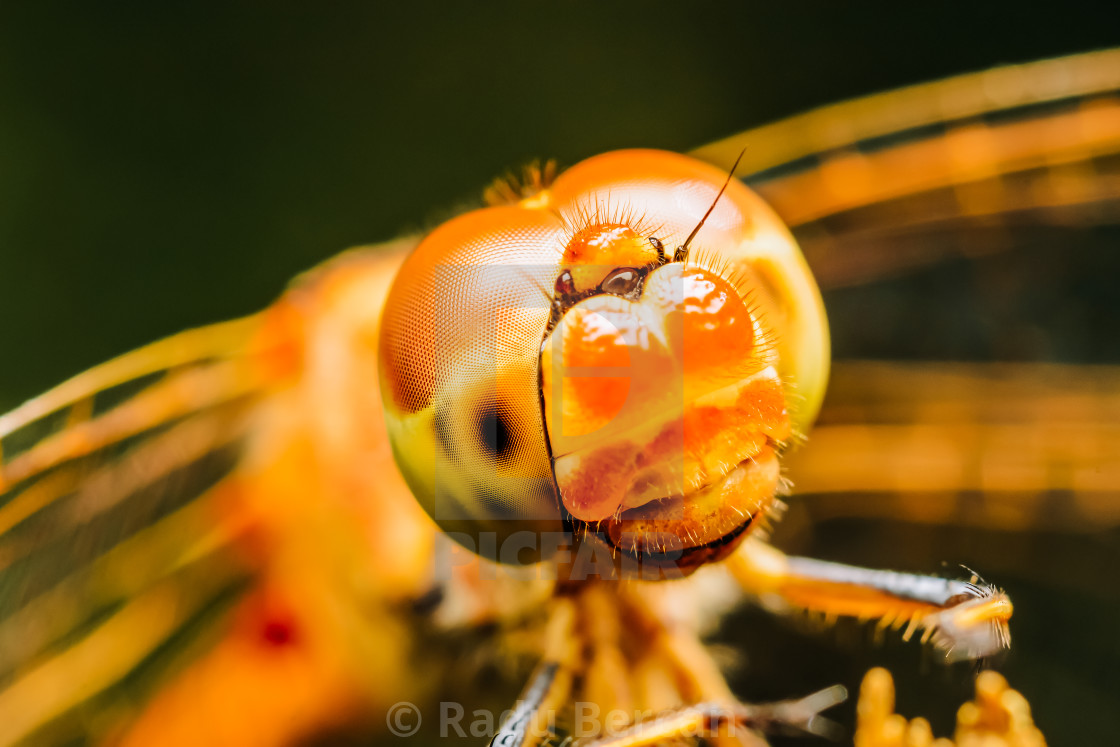 """Extreme Macro Photo Of A Dragonfly"" stock image"