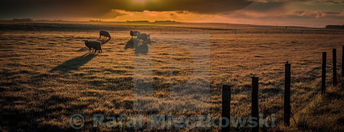 """""""Sheep in the morning"""" stock image"""
