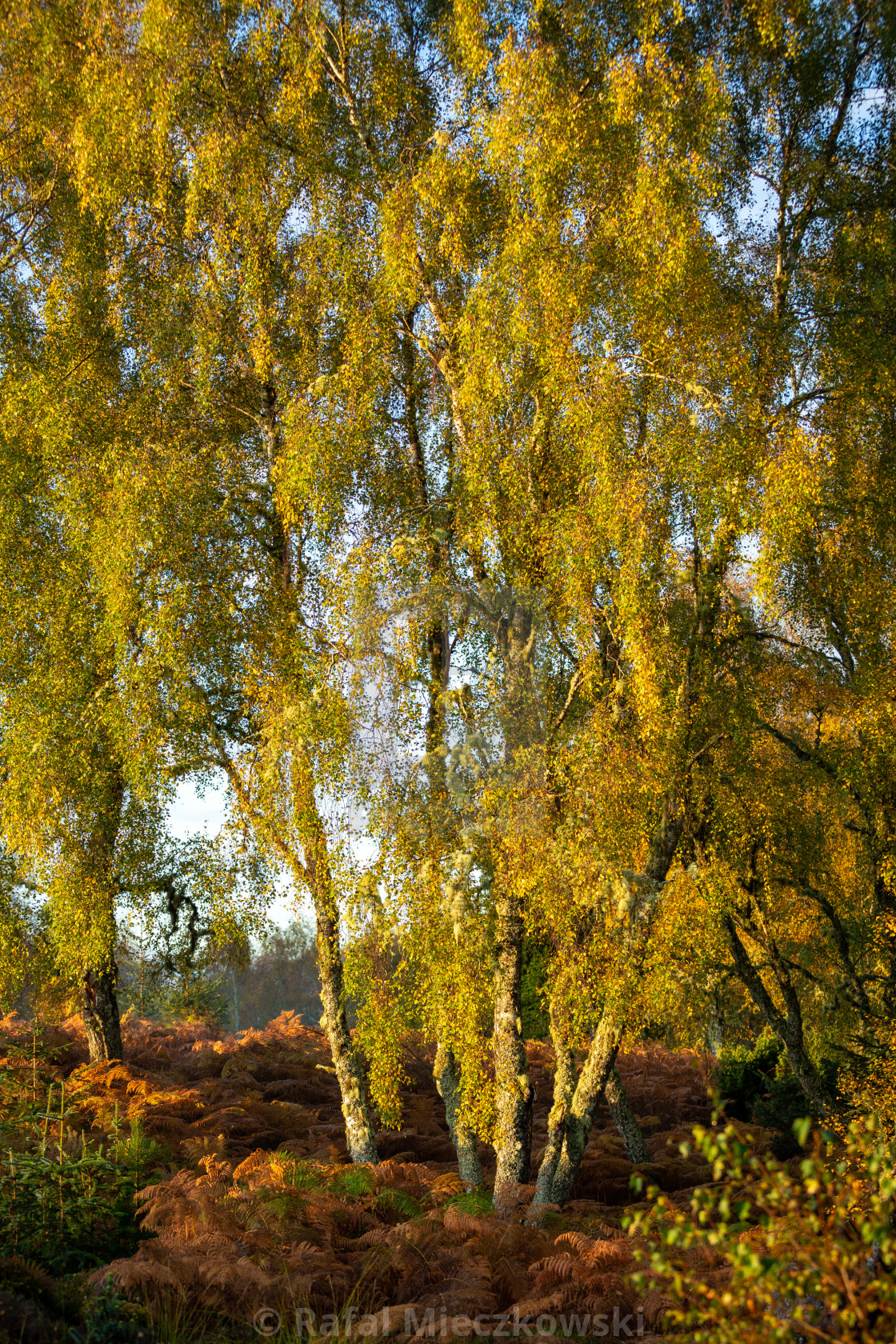 """Autumn in Scotland"" stock image"