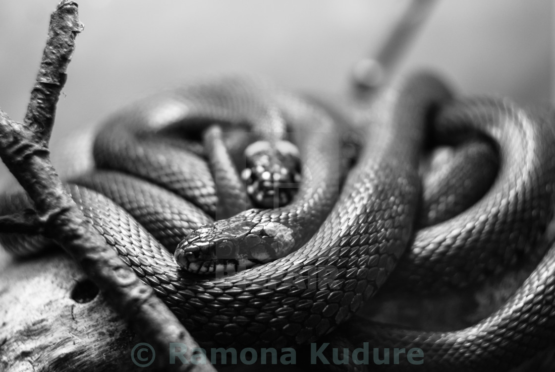 """Few Grass snakes resting in Riga Zoo"" stock image"